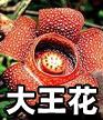 花中巨无霸——大王花